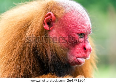 Closeup view of the face of a Bald Uakari monkey in the Amazon Rainforest near Iquitos, Peru - stock photo