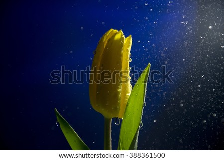 Closeup view of the flower with water drops pooring on it taken against color background