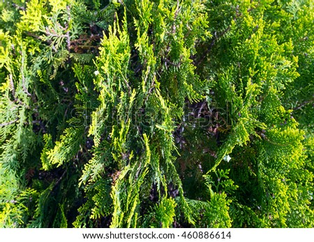 Closeup view of thuja tree twigs (cypress family). Nature background.