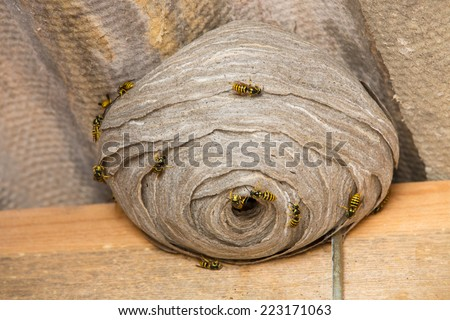 Closeup view of wasps and huge nest