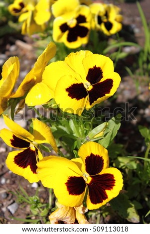 Closeup view of yellow Pansy flower (Viola Wittrockiana)
