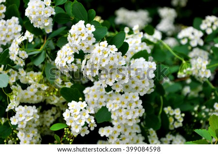 Closeup view on beautiful fresh spring blooming flower bush white colors with bright green leaves on natural floral background, horizontal picture - stock photo