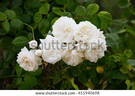 Closeup view on blooming white bush roses outdoors - stock photo