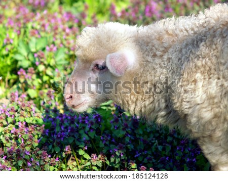 Closeup view portraying head of young lamb on background consisting of colorful flowers.