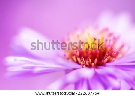 closeup violet aster flower background, shallow DOF - stock photo