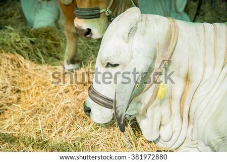 Closeup white brahman cow,starw - stock photo
