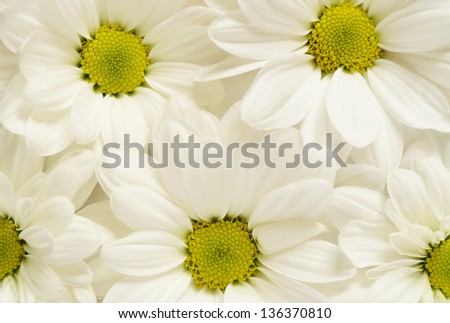 Closeup white chamomiles for background - stock photo