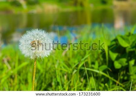 closeup white dandelion in a grass - stock photo