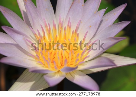 closeup white water lily pollen in the garden - stock photo