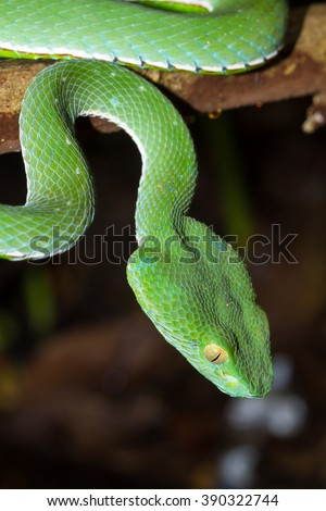 Closeup wild Chinese tree viper, Stejneger's pit viper, Bamboo pit viper, Bamboo viper