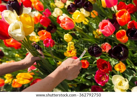 closeup woman hands are cutting a bunch of tulips on a flower field - stock photo