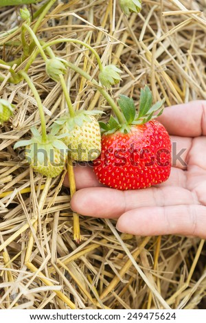 Closeup woman's hand holding a fresh strawberry growing on the vine. - stock photo