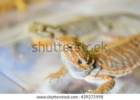 Closeup yello chameleon on box,soft focus,selective focus - stock photo
