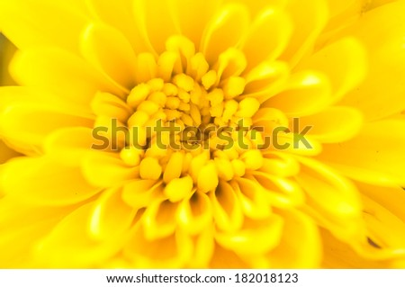 Closeup Yellow Chrysanthemum
