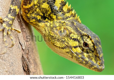 Closeup yellow crested lizard perched on tree.