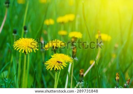 closeup yellow dandelion - stock photo