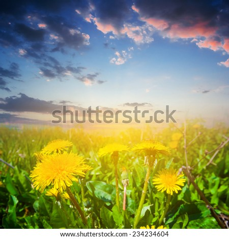 closeup yellow dandelions - stock photo