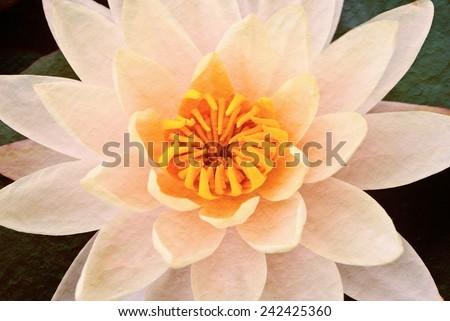 Closeup yellow lotus flower beautiful lotus, Vintage tone - stock photo