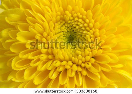 Closeup yellow Mum flower