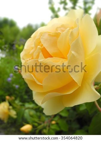 closeup yellow rose blossom - stock photo