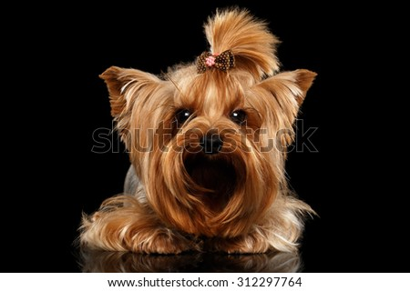 Closeup Yorkshire Terrier Dog Lying on Black Mirror background
