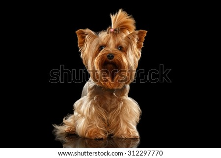 Closeup Yorkshire Terrier Dog Standing on Black Mirror background - stock photo