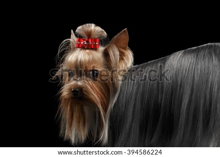 Closeup Yorkshire Terrier Dog with long groomed Hair Pity Looking back Isolated on black background