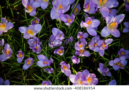 closeup , young crocuses just started to blossom , top view  - stock photo