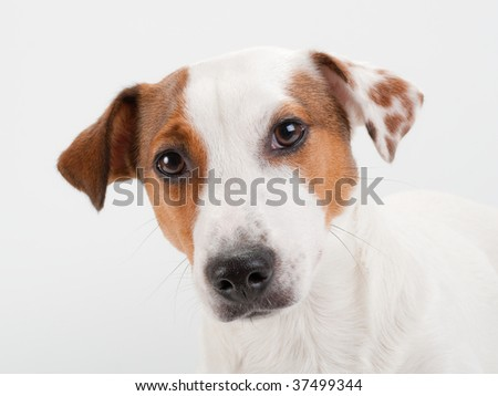 Closeup young Jack Russell Terrier head on white. No isolated.