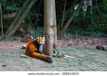 Closw view of red Red Panda (Ailurus fulgens), also called lesser panda. - stock photo
