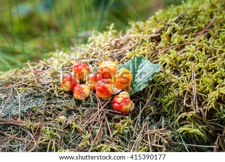 Cloudberry on a green vegetative background in wood. Fresh wild fruit