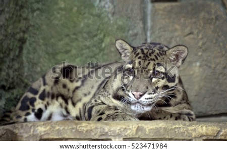 Clouded leopard Clouded leopard â?? the representative of the family of cats that live in South-East Asia. He resembles a leopard and is quite ancient.