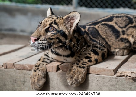 Clouded Leopard Cub - stock photo