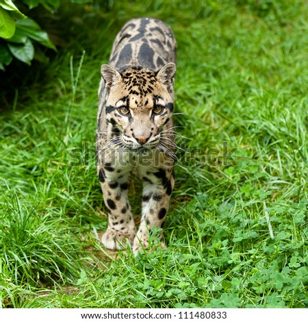 Clouded Leopard Standing on Grass Neofelis Nebulosa