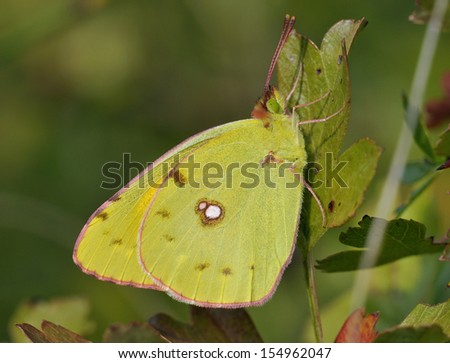 Clouded Yellow Butterfly - Colias croceus Female Underside on Hawthorn