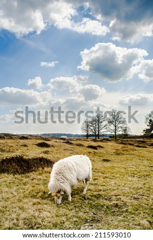 Clouds and Sheeps at sand dunes in Drenthe, Appelsch