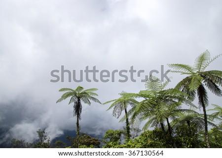 Clouds on the mountain and black tree fern. (Cyathea medullaris) - stock photo