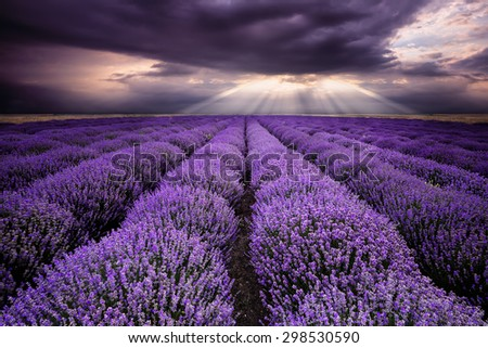 Cloudy morning over lavender field - stock photo