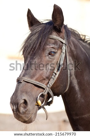 Clouse-up portrait of  a thoroughbred stallion