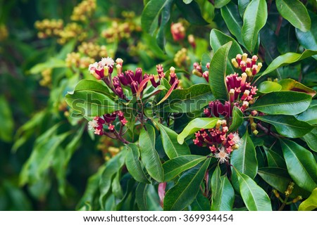 Clove tree with blooming  flowers and fresh green and red raw sticks growing in Bali mountains. Tropical plants, natural food spices, producing aromatic ingredients and oil in Indonesian plantations. - stock photo