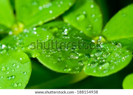 clover and water drops