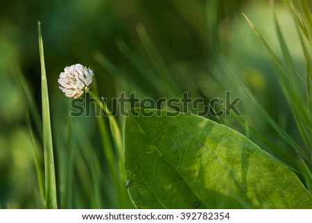 Clover flower in a grass. Clover flower close up. Wild flowers. Forest flowers. Meadow flowers. - stock photo