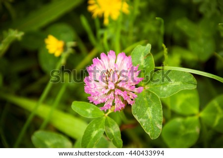 Clover flower on the meadow. - stock photo