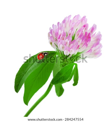 Clover flower with ladybirds isolated on white - stock photo