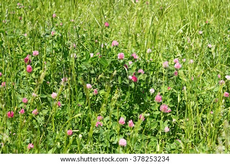 Clover flowering on the meadow among the motley grasses in a sunny summer day - stock photo
