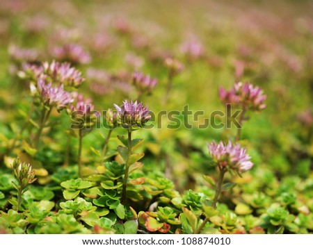 Clover flowers - stock photo