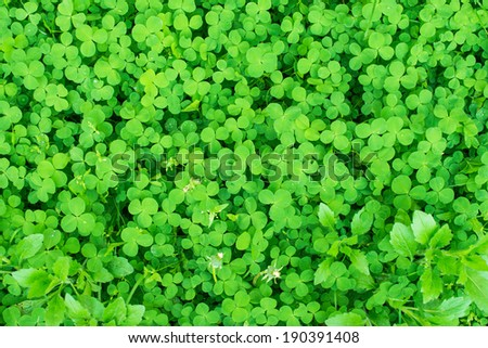 clover growing in the meadow - stock photo
