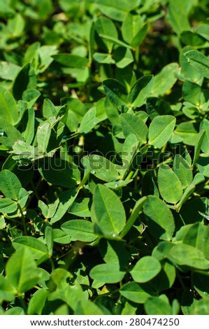 Clover in natural environment with dew, close-up, - stock photo