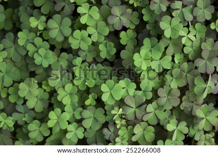 Clover leaf background - stock photo