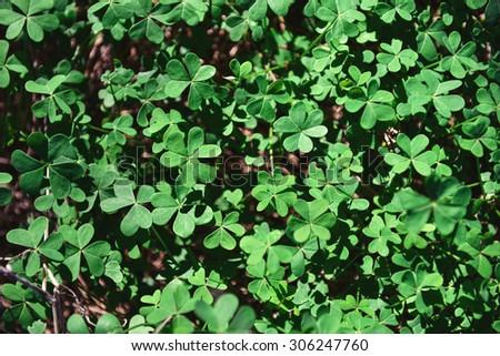 Green Irish Clover Leafs Forest Stock Photo 100975504